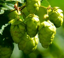 Beer and Hop- What'stheLink?
